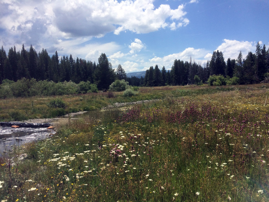 4 - Wildflowers at New Upper Truckee River Channel July 2015.