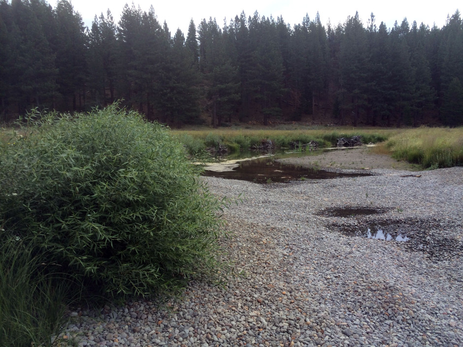 5 - Good Willow Growth at New Upper Truckee River Channel July 2015.